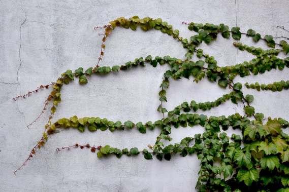 building-ivy-bluszcz-9680